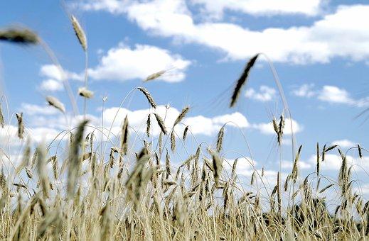 Wymagania pszenżyta i zasady nawożenia